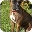 Photo 1 - Boxer Dog for adoption in Brunswick, Georgia - Nina