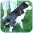 Photo 1 - Border Collie Dog for adoption in Osseo, Minnesota - Charlie