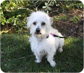 Westie, West Highland White Terrier/Norfolk Terrier Mix Dog for adoption in Newport Beach, California - HOMER