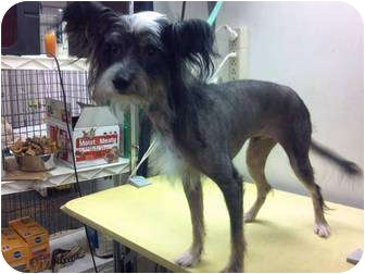 Chinese Crested Puppy for adoption in Lexington, Kentucky - Dodi