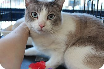 Snowshoe Cat for adoption in Santa Monica, California - Petri