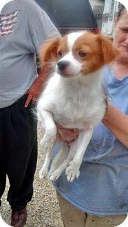 Chihuahua Mix Dog for adoption in Cincinnati, Ohio - Pebbles