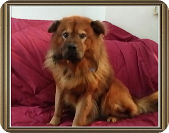 Chow Chow Mix Dog for adoption in Holland, Michigan - Petro
