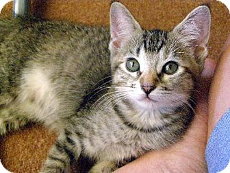 Domestic Mediumhair Kitten for adoption in Chandler, Arizona - Ginger