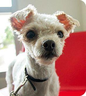 Miniature Poodle Mix Dog for adoption in Berkeley, California - Melba