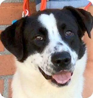 Border Collie Mix Dog for adoption in Los Angeles, California - BRAVO (video)
