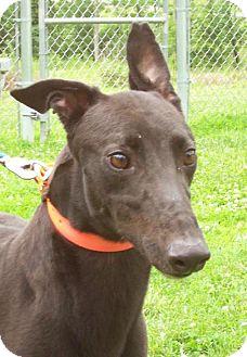 Greyhound Dog for adoption in Randleman, North Carolina - Medgar