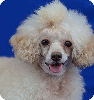 Poodle (Toy or Tea Cup) Dog for adoption in LAFAYETTE, Louisiana - JEAN PIERRE