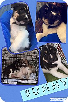 Border Collie Mix Puppy for adoption in ST LOUIS, Missouri - Sunny