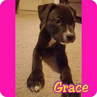 Labrador Retriever/Shepherd (Unknown Type) Mix Puppy for adoption in Mesa, Arizona - Grace
