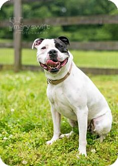 English Bulldog Mix Dog for adoption in Reisterstown, Maryland - Scout