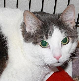 Domestic Shorthair Cat for adoption in Ft. Lauderdale, Florida - Hunter