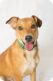 Labrador Retriever/German Shepherd Dog Mix Dog for adoption in Chicago, Illinois - Marshall