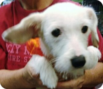 Westie, West Highland White Terrier/Terrier (Unknown Type, Small) Mix Dog for adoption in Phoenix, Arizona - Mallo