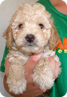 Poodle (Miniature) Puppy for adoption in Corona, California - HANDSOME
