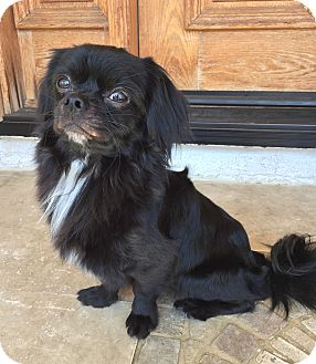 Pekingese/Japanese Chin Mix Dog for adoption in Encino, California - Jack
