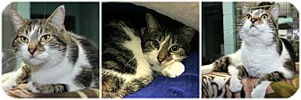 Domestic Shorthair Cat for adoption in Forked River, New Jersey - Gonzo