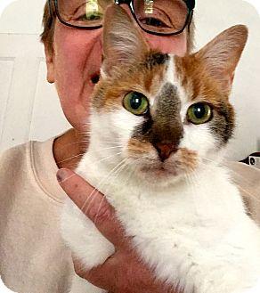 Calico Cat for adoption in Cincinnati, Ohio - Milkshake: Covedale