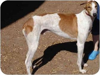 Greyhound Dog for adoption in Albuquerque, New Mexico - USS News Flash