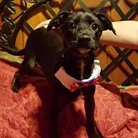 Standard Schnauzer/Miniature Pinscher Mix Puppy for adoption in Porter Ranch, California - Toons