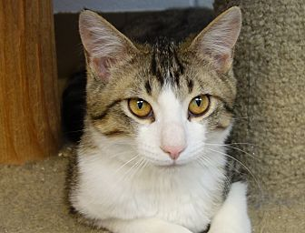 Domestic Shorthair Cat for adoption in Greenfield, Indiana - Foster