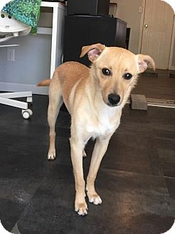 Chihuahua/Terrier (Unknown Type, Small) Mix Dog for adoption in Windham, New Hampshire - Prince is in Rhode Island!