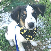 Adopt A Pet :: Beaux 💙 ADOPTED! - Saratoga Springs, NY
