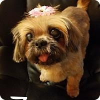 Adopt A Pet :: Zoey - Bucks County, PA