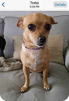 Chihuahua Mix Dog for adoption in Hialeah, Florida - Stella