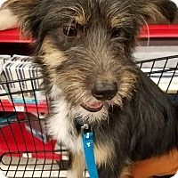 Adopt A Pet :: Santana - Litchfield Park, AZ