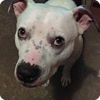 Adopt A Pet :: Wiggles - Sharon Center, OH