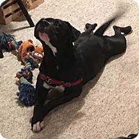 Adopt A Pet :: Sinatra - Kansas City, MO