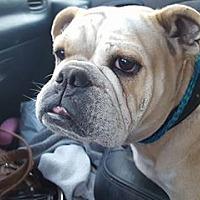 Adopt A Pet :: Bulldog - Lewistown, PA