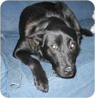 Shepherd (Unknown Type)/Border Collie Mix Dog for adoption in Sacramento, California - Andrea