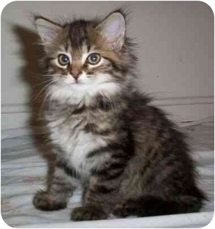 Domestic Mediumhair Kitten for adoption in Reston, Virginia - Vera