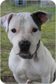 Pit Bull Terrier Mix Dog for adoption in Waterloo, New York - Pina Colada