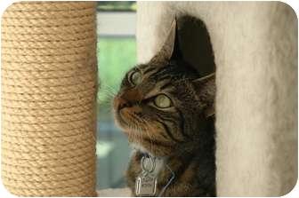 Domestic Shorthair Cat for adoption in Sacramento, California - Champ