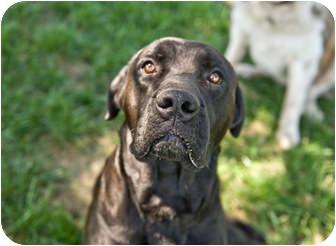 Labrador Retriever/Mastiff Mix Dog for adoption in Howell, Michigan - Monty - video