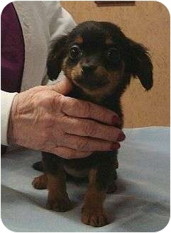Dachshund/Chihuahua Mix Puppy for adoption in Windham, New Hampshire - Pee Wee