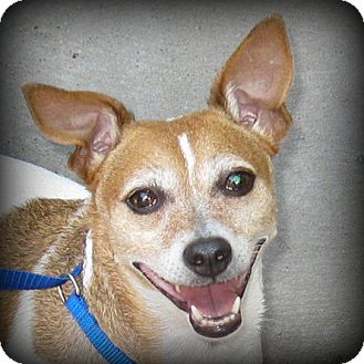 Rat Terrier Mix Dog for adoption in Weatherford, Texas - Lucy