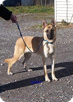 German Shepherd Dog Dog for adoption in Tully, New York - SANDY