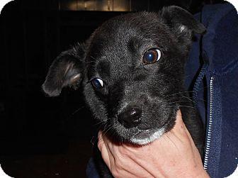 Terrier (Unknown Type, Medium)/Labrador Retriever Mix Puppy for adoption in Remlap, Alabama - Buck