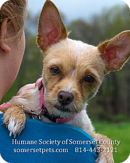 Chihuahua/Terrier (Unknown Type, Small) Mix Dog for adoption in Somerset, Pennsylvania - Ginger