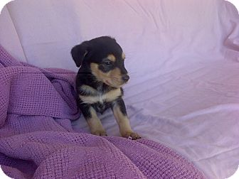 Jack Russell Terrier/Rat Terrier Mix Puppy for adoption in Dallas/Ft. Worth, Texas - Bear in Dallas