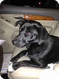 Labrador Retriever/Collie Mix Dog for adoption in Hopkinsville, Kentucky - Spud