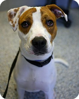 Boxer/Bulldog Mix Dog for adoption in East Hanover, New Jersey - Tyson
