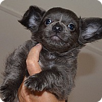 Adopt A Pet :: Trey - Westfield, IN