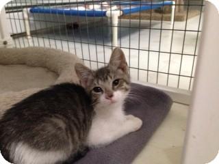 Domestic Shorthair Kitten for adoption in Randolph, New Jersey - Suzie