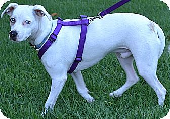 Jack Russell Terrier Mix Dog for adoption in Simi Valley, California - Frankie