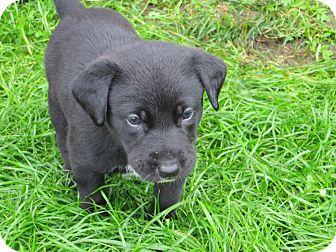 Cattle Dog Mix Puppy for adoption in Manhattan, Kansas - Jumanji- adoption pending